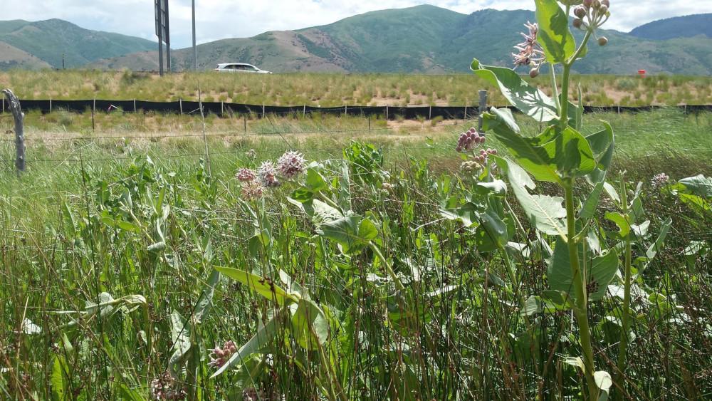 Roadswide milkweed
