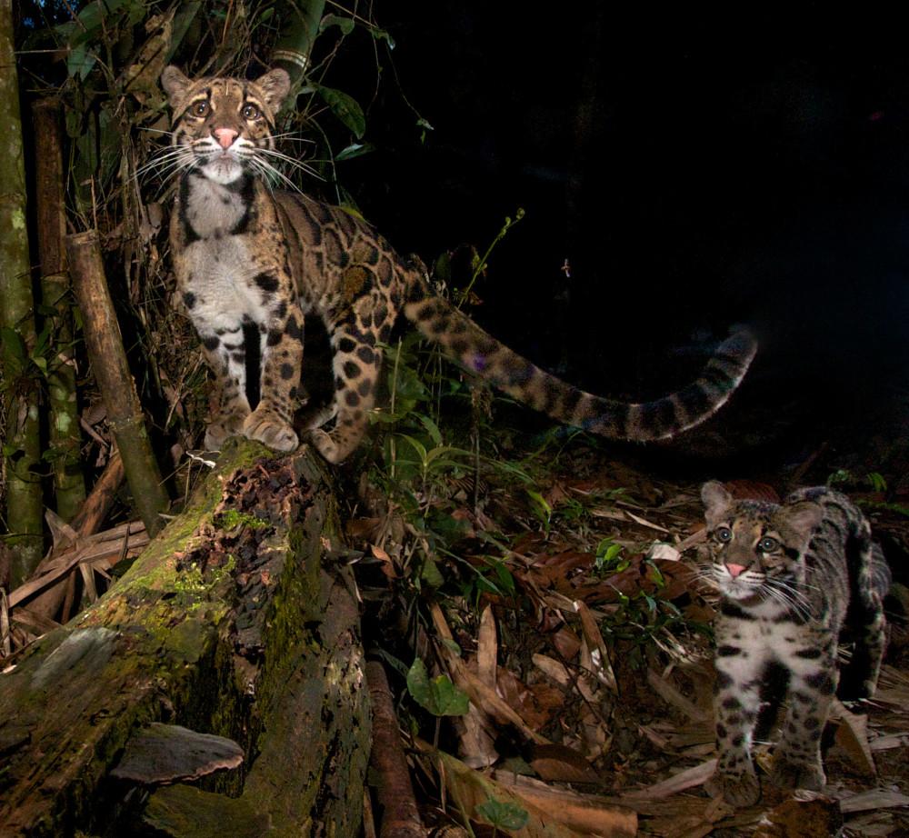 Sunda clouded leopards