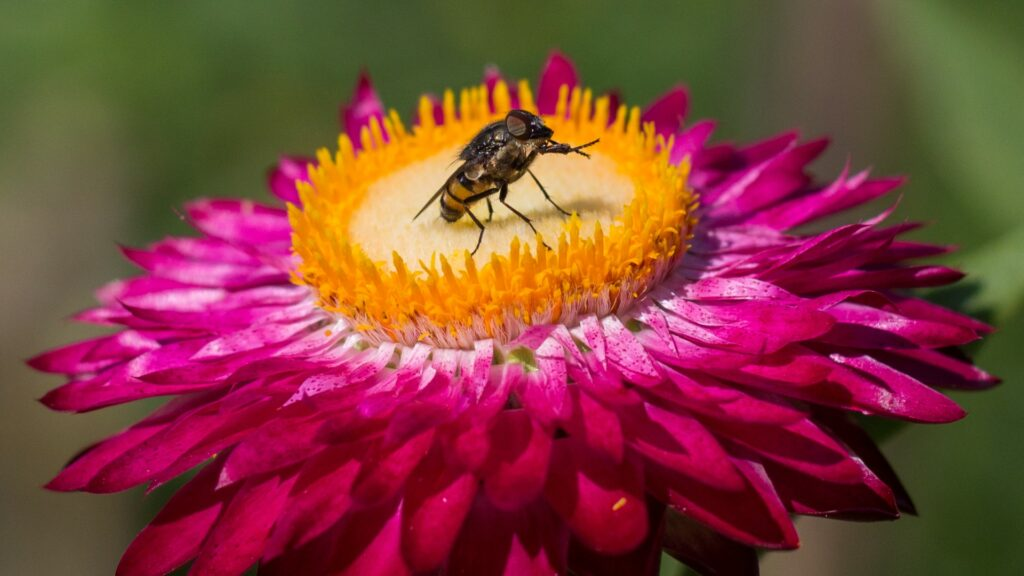 fly on center of flower