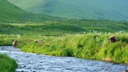 Bears by stream