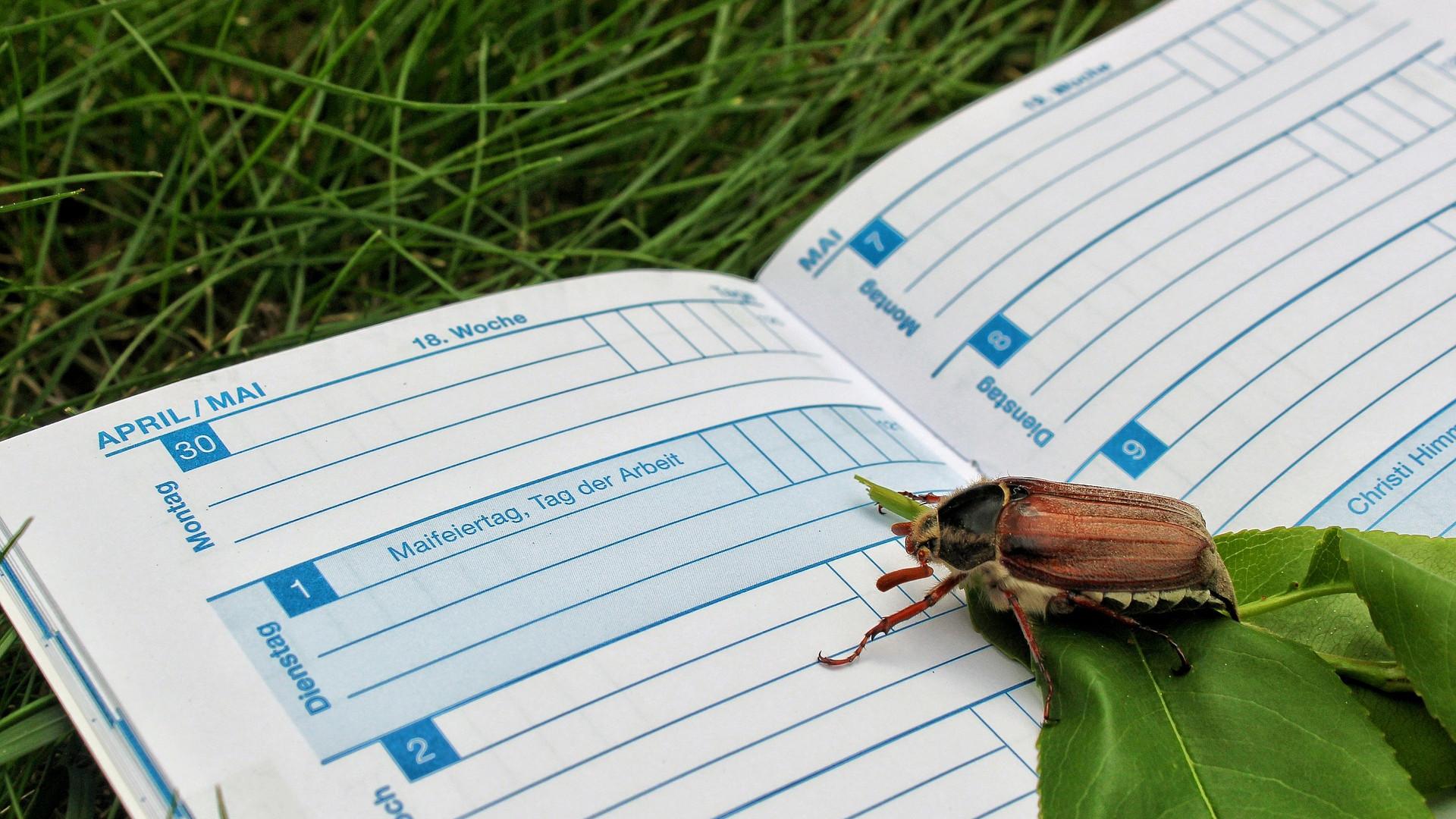 calendar beetle