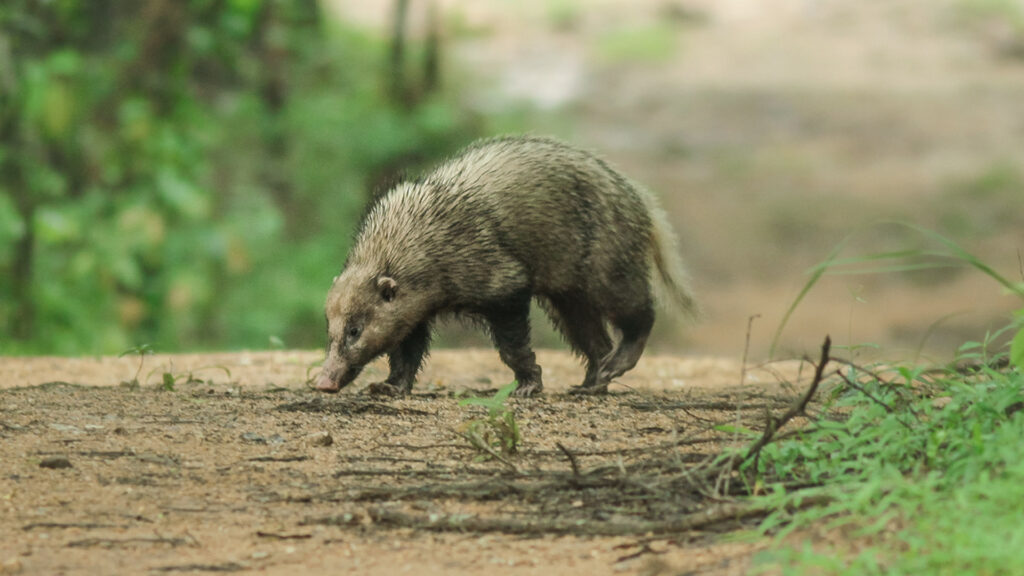 greater hog badger